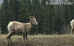 Bighorn sheep in Kanada